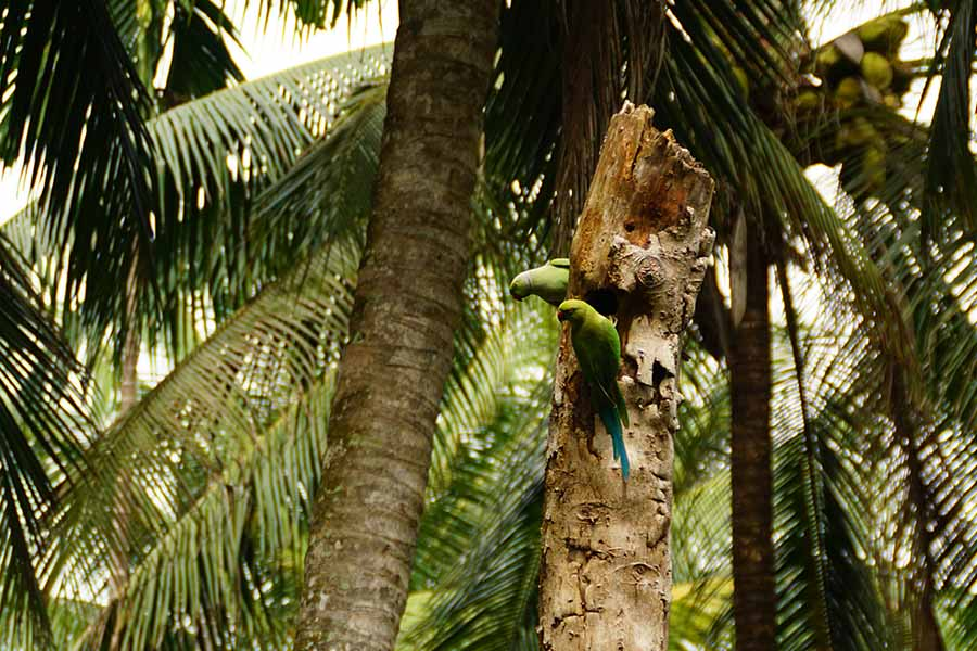 Ausfluege Bentota Mangroven Flussfahrt gruene Papageien in den Mangrovenbaeumen