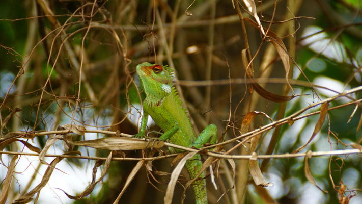 Chamäleon in den Mangrovenwäldern Sri Lankas