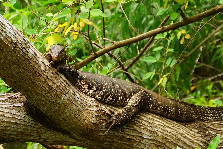 Ausfluege Bentota Mangroven Flussfahrt Waran auf Baumstamm liegend Sri Lanka