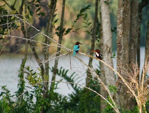Ayurveda Erfahrungsbericht: Kingfisher-Paar beim Natursee des Ayurveda Resorts Villa Raphael in Sri Lanka